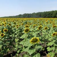 Семена Подсолнечника Пикардия от Агроэксперт-Трейд