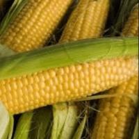 Гібрид кукурудзи ДН Пивиха