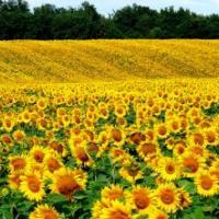 Посевной подсолнечник подсолнух семена гибрид ЗЛАТСОН (F1) фракция 3,6 описание характеристика цена купить в Украине