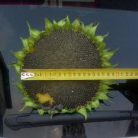 Соняшник гібрид Антей купити насіння
