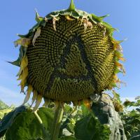 Семена Подсолнечника Атилла от Агроэксперт-Трейд