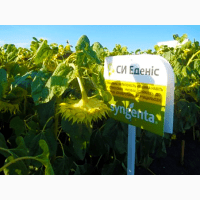 Соняшник СІ Эденіс купити насіння