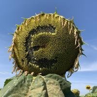 Семена Подсолнечника Евро от Агроэксперт-Трейд