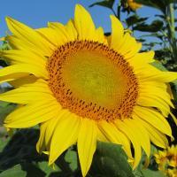 Соняшник гібрид НС Х 265 купити насіння
