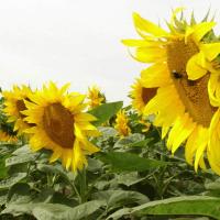 Соняшник гібрид НС Х 1752 купити насіння