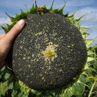 Соняшник гібрид Сумо 2017 купити насіння