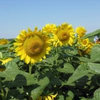 Подсолнечник гибрид Таурус купить семена