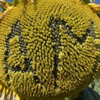 Семена Подсолнечника Амато от Агроэксперт-Трейд