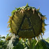 Семена Подсолнечника Армагедон от Агроэксперт-Трейд