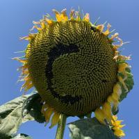 Насіння соняшника Сонячный Настрий від Агроэксперт-Трейд