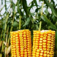 кукуруза гибрид PR37N01 семена