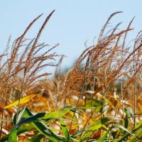 кукуруза гибрид PR37Y12 семена