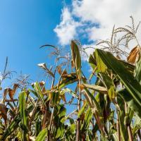 кукуруза гибрид PR39Б76 семена