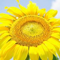 Насіння соняшнику PR64F66 купити