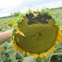 Подсолнечник гибрид Прими купить семена в Украине фото