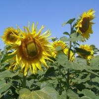 Посевной подсолнечник подсолнух семена сорт ПРОМЕТЕЙ описание характеристика цена купить в Украине