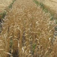 Посевная озимая пшеница семена сорт Фаворитка описание характеристика цена купить в Украине