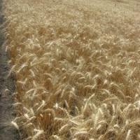 Посевная озимая пшеница семена сорт Куяльник описание характеристика цена купить в Украине