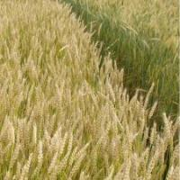 Посевная озимая пшеница семена сорт Ласточка Одесская описание характеристика цена купить в Украине