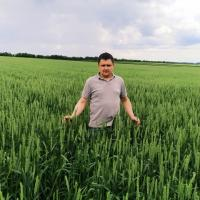 пшеница леннокс