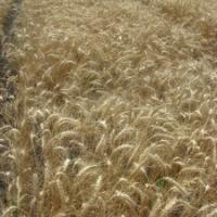 Посевная озимая пшеница семена сорт Одесская 267 описание характеристика цена купить в Украине