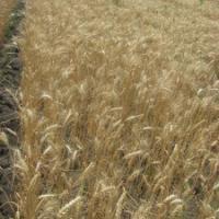 Посевная озимая пшеница семена сорт Кохана описание характеристика цена купить в Украине