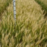 Посівна озима пшениця насіння сорт Смуглянка опис характеристика ціна купити в Україні