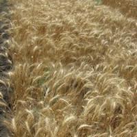 Посівна озима пшениця насіння сорт Благо опис характеристика ціна купити в Україні