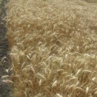 Посевная озимая пшеница семена сорт Виктория Одесская описание характеристика цена купить в Украине