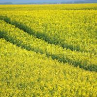 Семена рапса ПТ264 купить в Украине