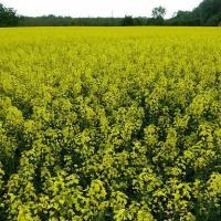 Семена рапса ПТ279КЛ купить в Украине