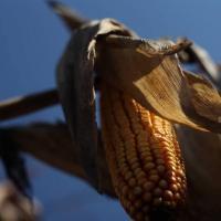 кукуруза гибрид Р8025 семена