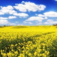 Насіння ріпаку Рагнар (Лембке) купити в Україні, опис гібрида, відгуки, ціна, доставка