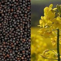 Семена рапса сорт Атлант описание характеристика цена купить в Украине