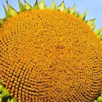 Семена Подсолнечника Раптор (НС Х 7258) от Агроэксперт-Трейд