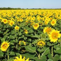 Семена Подсолнечника Ричард от Агроэксперт-Трейд