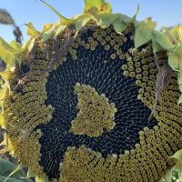 Семена Подсолнечника Рими NEW от Агроэксперт-Трейд