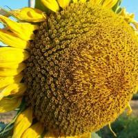 Подсолнечник гибрид Римисол купить семена в Украине фото