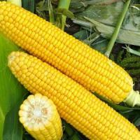 кукуруза гибрид Роберто фото