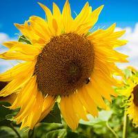 Соняшник гібрид Ромео купити насіння в Україні фото
