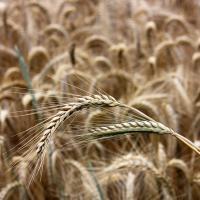 Семена ржи озимой Хлебное купить в Украине