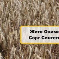 Семена ржи озимой Синтетик купить в Украине