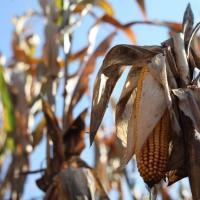 кукурудза гібрид РR39G83 насіння