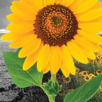 Соняшник Санай МР купити насіння