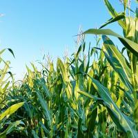 Кукуруза СИ Скорпиу купить семена