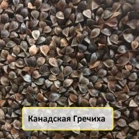Семена канадской гречихи сорт Арно