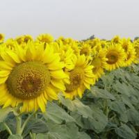 Посевной подсолнечник подсолнух семена гибрид Одиссей описание характеристика цена купить в Украине