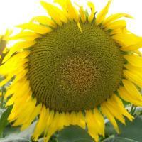 Подсолнечник гибрид Сержан купить семена в Украине фото