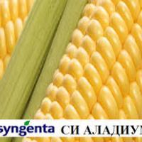 кукуруза гибрид СИ Аладиум фото