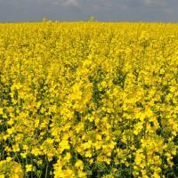 Семена рапса СИ Анабелла (Сингента) купить в Украине, описание гибрида, отзывы, цена, доставка